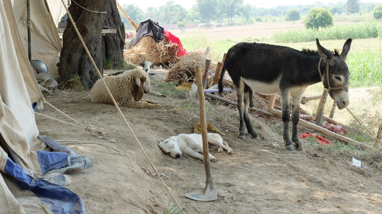 Livestock and animals in the tent community